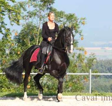 Photo du cheval noir Zoltan en plein entrainement